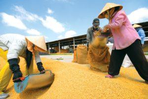 Tiêu chuẩn, điều kiện, thủ tục xuất khẩu gạo