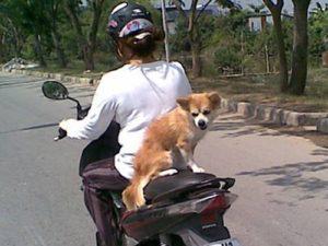 Mức phạt khi chở chó mèo trên phương tiện giao thông?